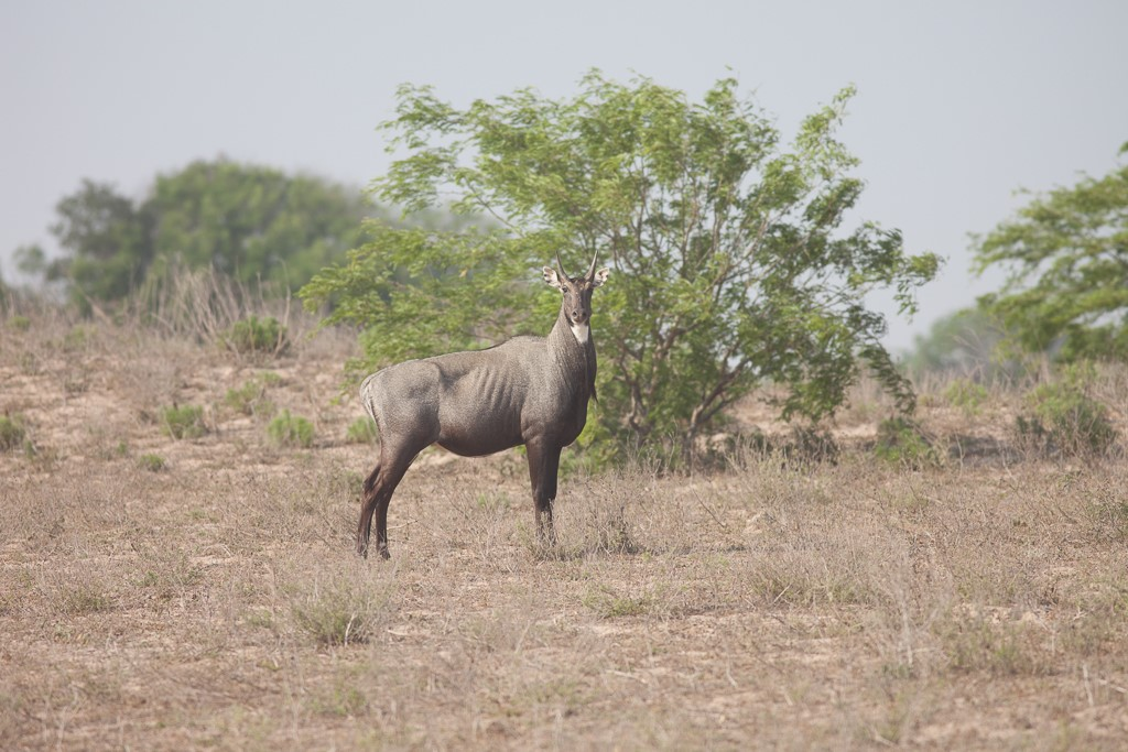 6. White-tailed Deer, Nilgai and Cattle Grazing Interactions 2.jpg