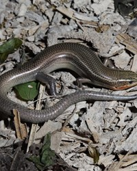 Four-lined Skink by Toby J. Hibbitts.JPG