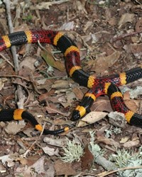 Texas Coral Snake by Toby J. Hibbitts.JPG